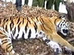 11只东北虎活活饿死 老虎食物喂饱了谁?