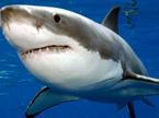 奇趣大自然20101113期:超级大白鲨
