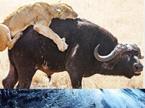 奇趣大自然20110221期:南非水牛